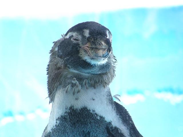 ペンギン・顔.jpg