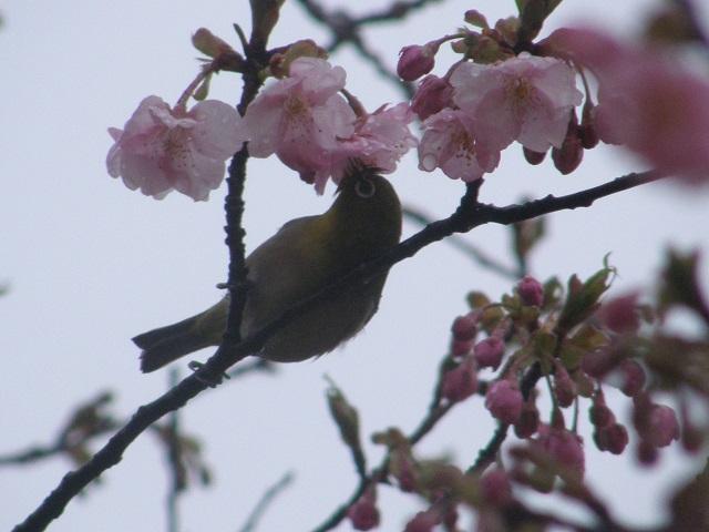 メジロと桜.jpg