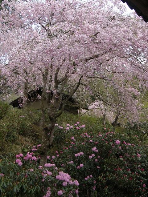 三千院の枝垂れ桜.jpg