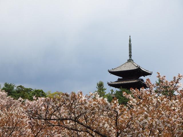 五重塔と御室桜.jpg
