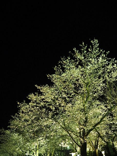 知覧の夜桜-2.jpg
