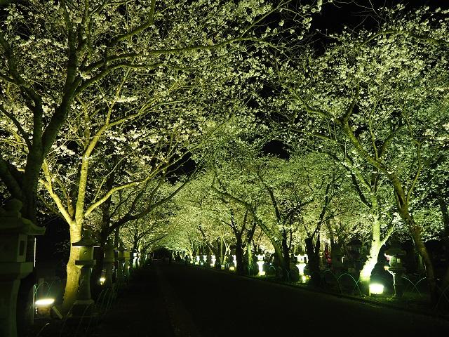 知覧の夜桜.jpg