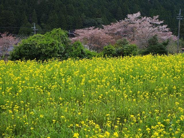 菜の花と桜.jpg