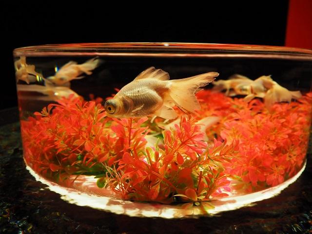 金魚-3.jpg