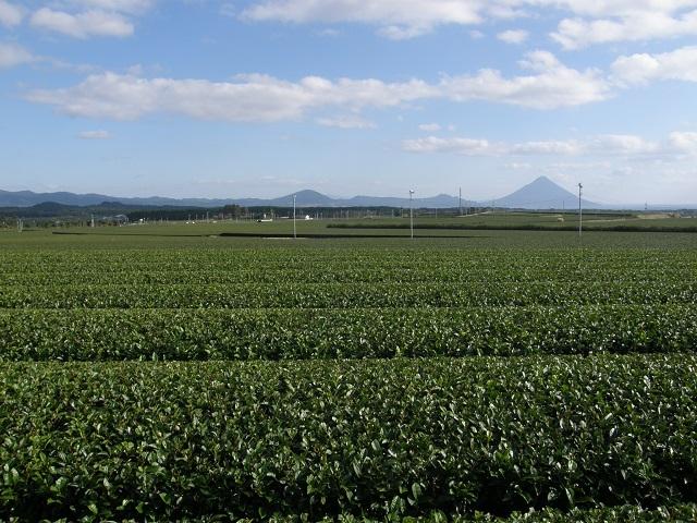 頴娃町の茶畑.jpg
